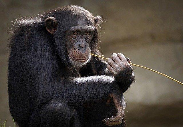 Foto van een chimpansee die op een rietje bijt